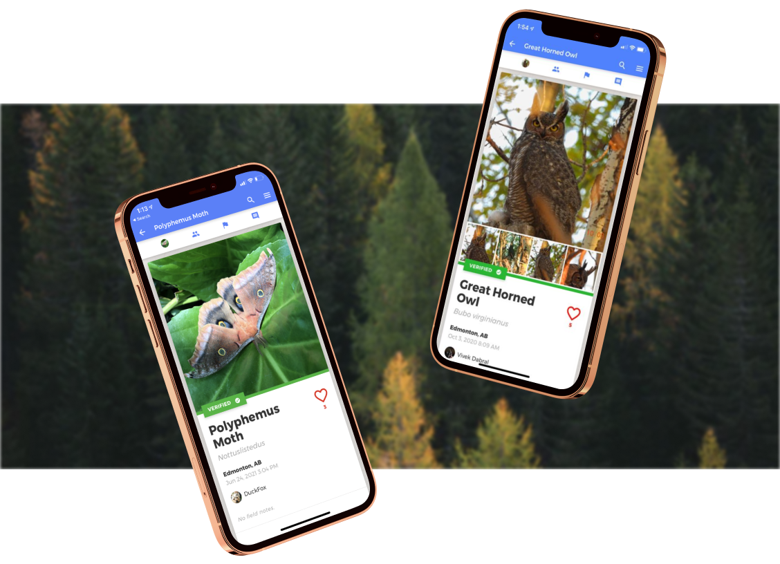Two screenshots of the NatureLynx application on an iPhone 12. Both screenshots are of the sightings newsfeed. From left to right: a sighting of a moth and a sighting of a great horned owl. Both sightings have the date, time, location, and the author of the sighting.