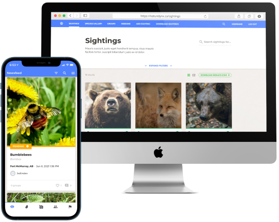 Two screenshots of the NatureLynx application. From left to right: An iPhone 12 with a screenshot of the newsfeed and a sighting of a bumblebee with the date, time, location, and who posted it. An iMac screenshot of the website view for the sightings for a grizzly bear and a fox.