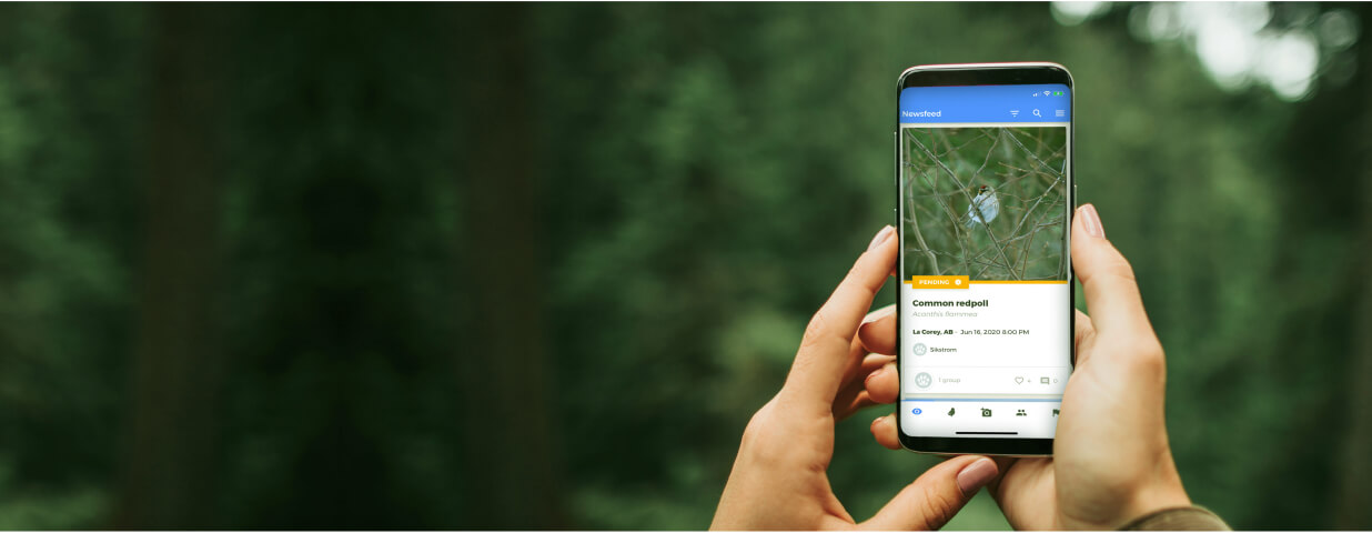 An image of someone holding a smartphone in the forest with the NatureLynx application open. The smartphone screen is displaying the sighting newsfeed with a posting of a common redpoll.